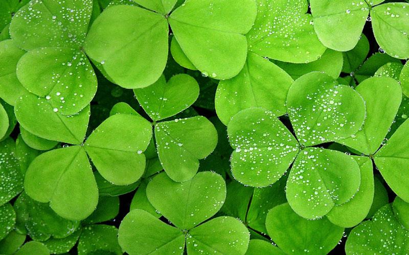 四叶草壁纸-绿叶代表什么