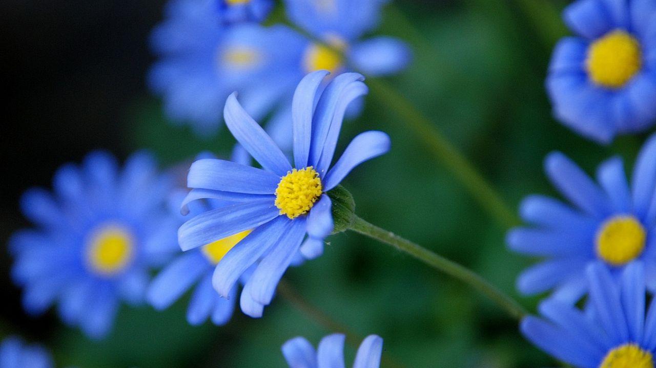 蓝色雏菊简笔画