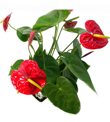 春节送什么?春节送花的常识-中国鲜花礼品网